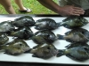Coosa-River-Bream-3