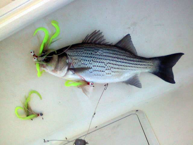 lake-allatoona-striper-12