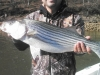 Allatoona-Striped-Bass-1