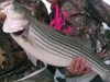 Allatoona-Stripers-1